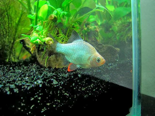 Green Tiger Fish - Puntius Tetrazona | TROPICAL FISH
