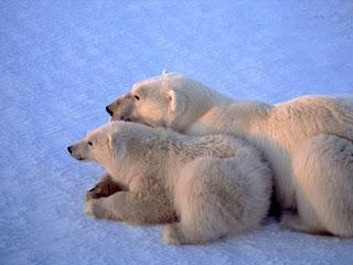 Foto Beruang Kutub Istirahat dengan anaknya