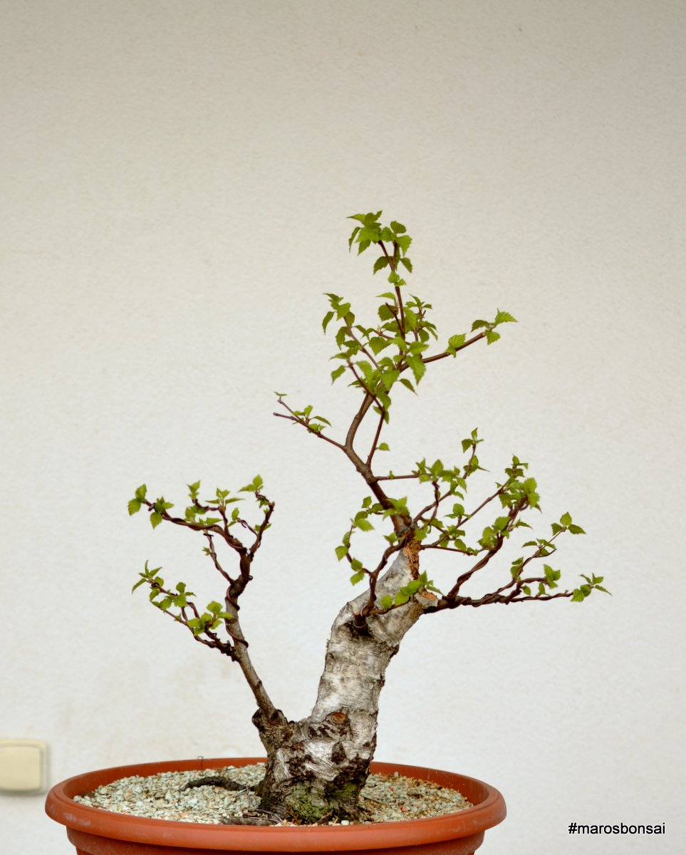 Maros Bonsai Blog Betula Pendula No2