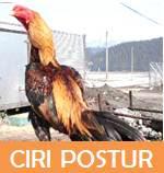 ayam bangkok postur aduan