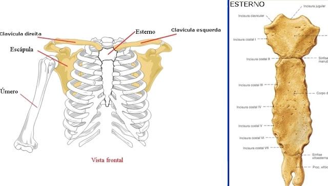 Clavicula, esterno, escapula, umero, ossos, esquerda e direita