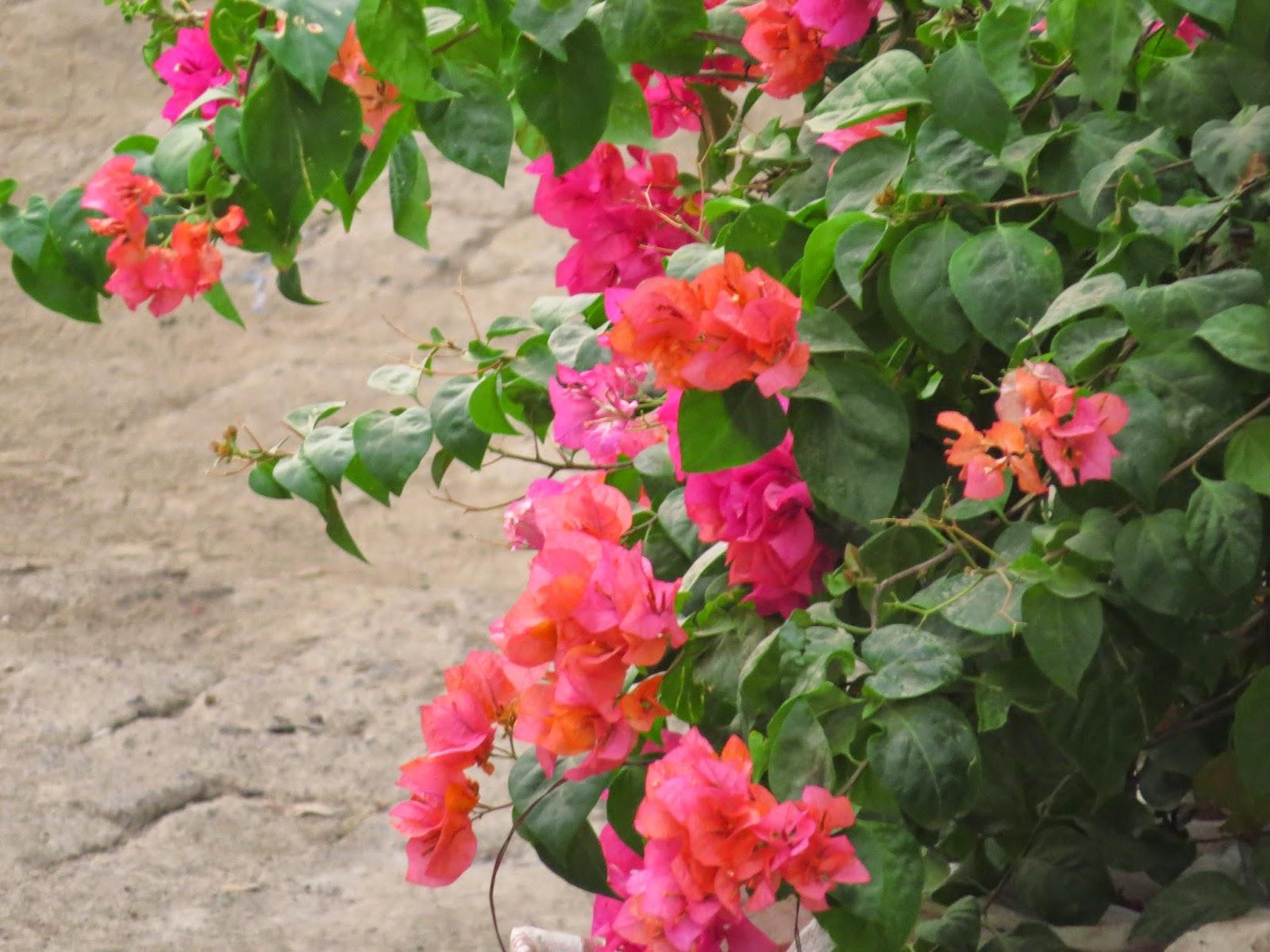 Bunga Kertas ( Bougainvillea)
