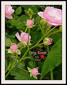 Fairy Roses  ♥