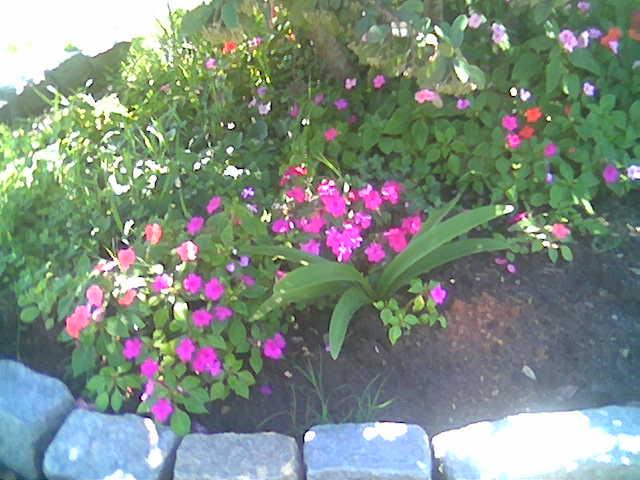Alegr a impatiens balsamina plantas y flores - Alegria planta cuidados ...