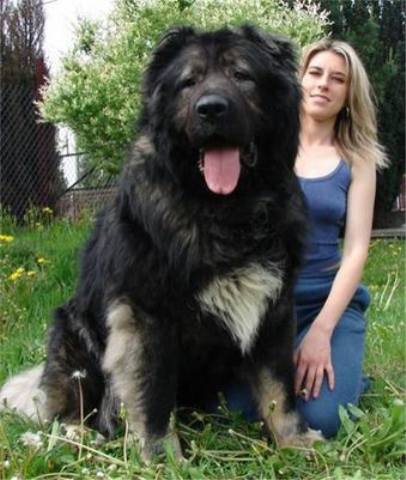 """Is the """"Hercules the World's Biggest Dog"""" photo fake, as everyone ..."""