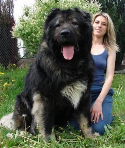 biggest dog at the world
