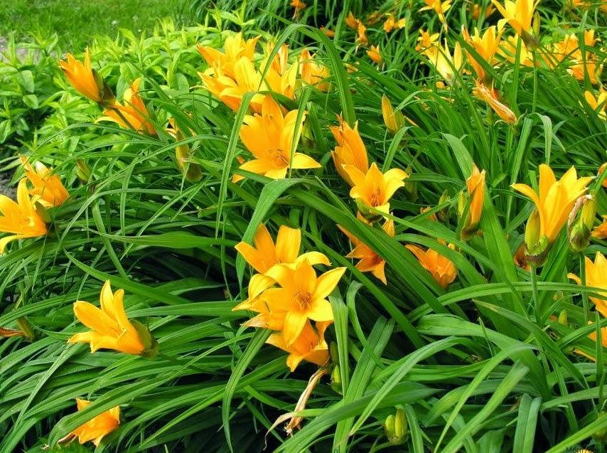 цветок красоднев