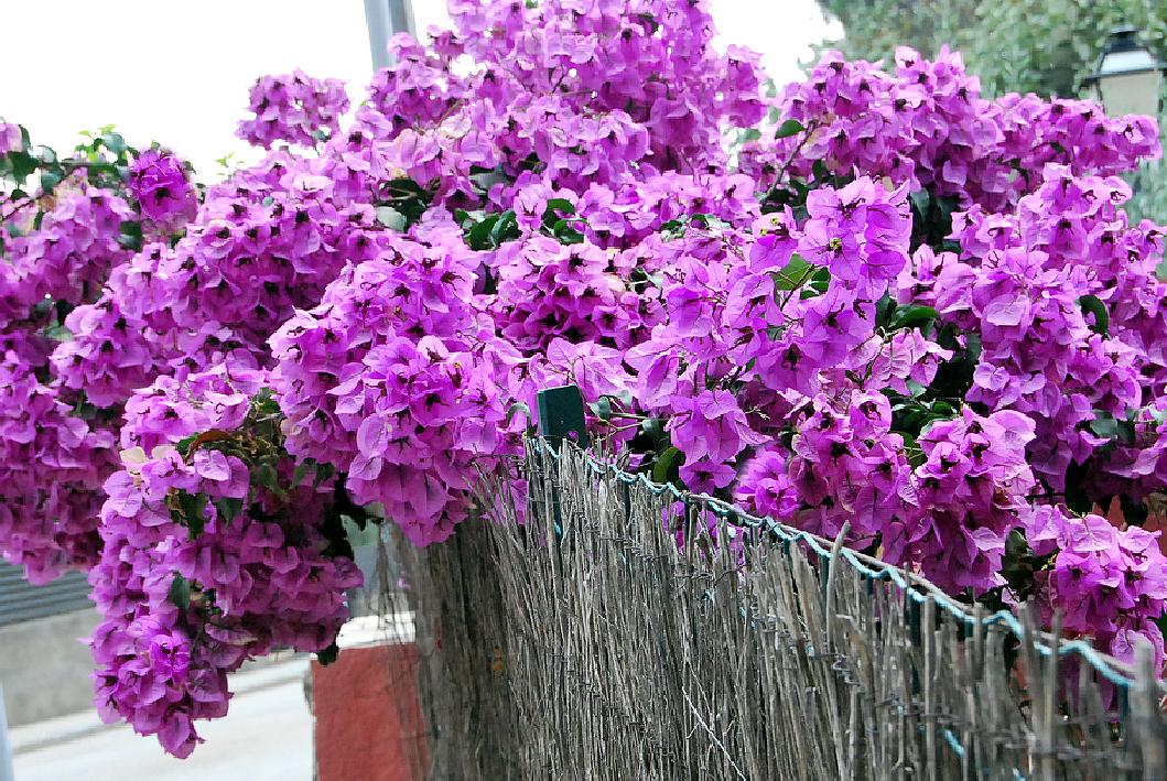 Fotos de flores flores de la buganvilla - La buganvilla ...