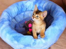 ruddy abyssinian kitten for sale - Tawny - Usual