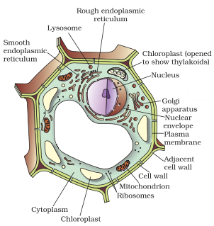 Draw A Labelled Diagram Of A Animal Cell And Plant Cell Ncert