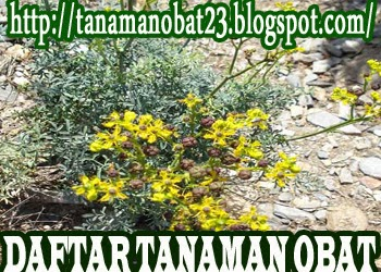 http://tanamanobat23.blogspot.com/2015/03/tanaman-obat-inggu-ruta-angustifolia-l.html