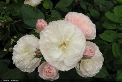 Derri re les murs de mon jardin nouveaux rosiers - Derriere les murs de mon jardin ...