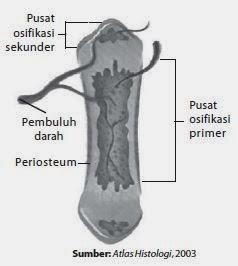 Penjelasan Tentang Proses Pembentukan Tulang Pada Manusia Biologi Indonesia