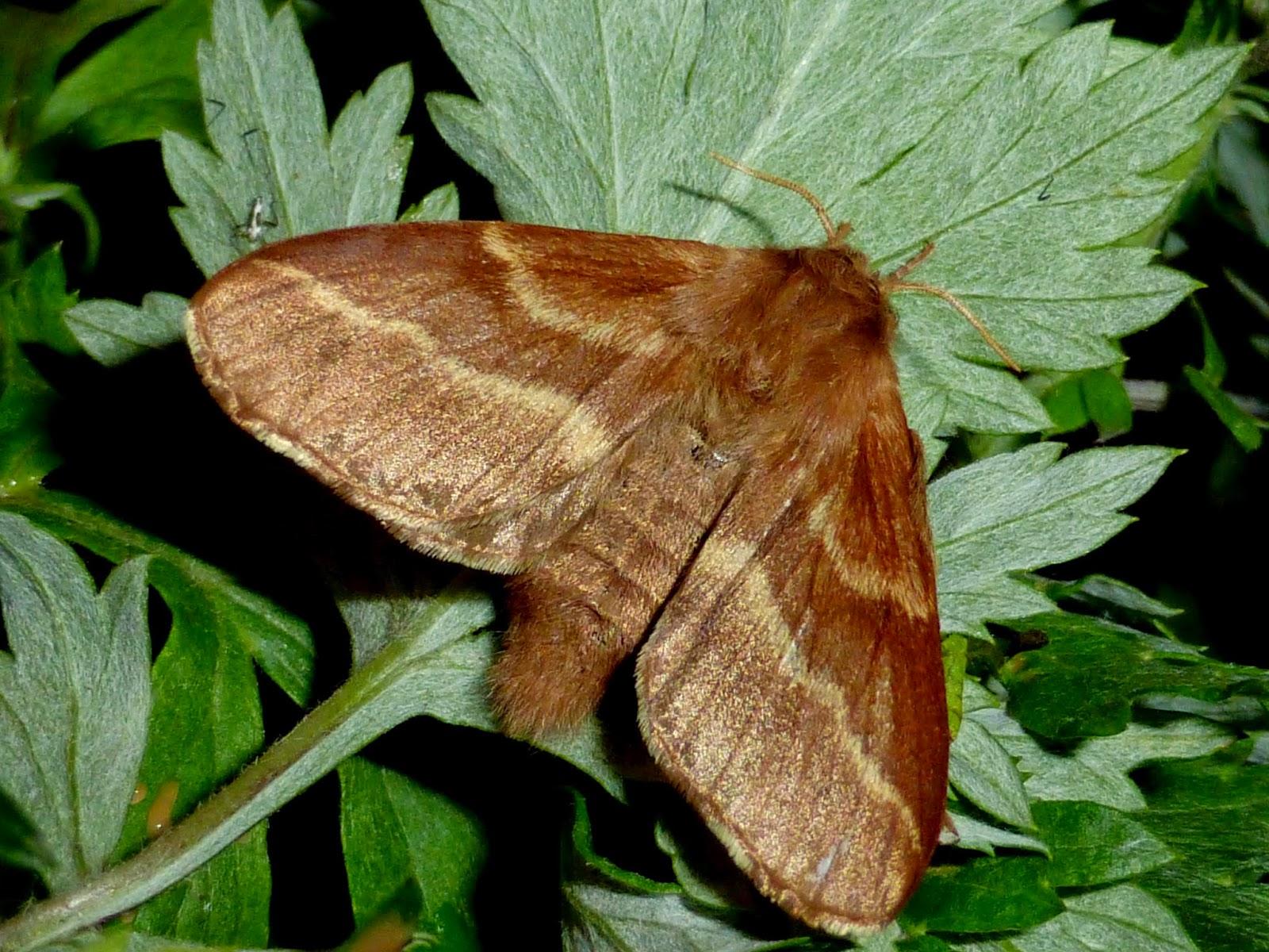 Malacosoma castrensis female