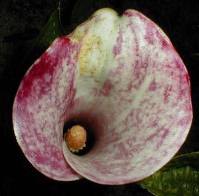 image Calla Pink Persuasion