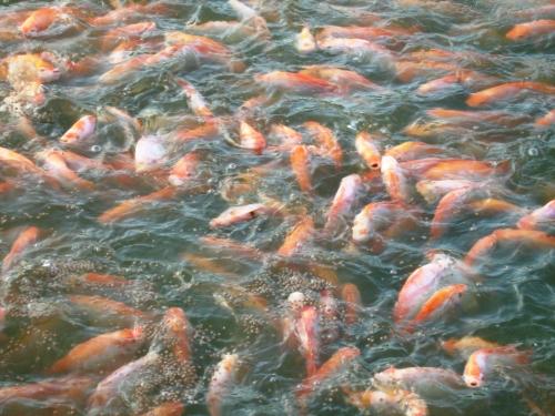 Gu a historia natural amalfi septiembre 2012 for Criadero de mojarras