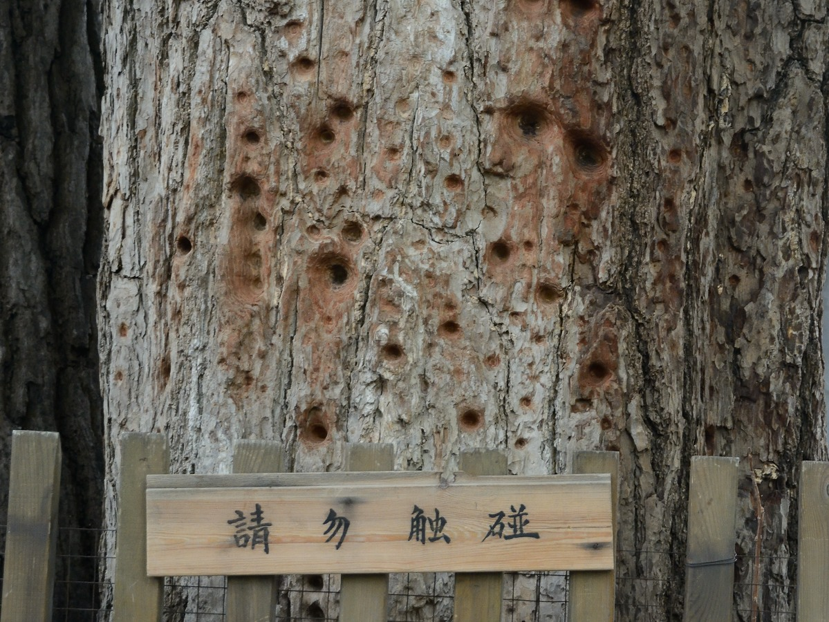 Tree with holes made by monks practicing their finger punching.