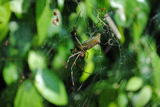 Big Spiderweb and its spider, cahuita, costa rica
