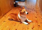 正行寺のアイドル犬☆ロンです!