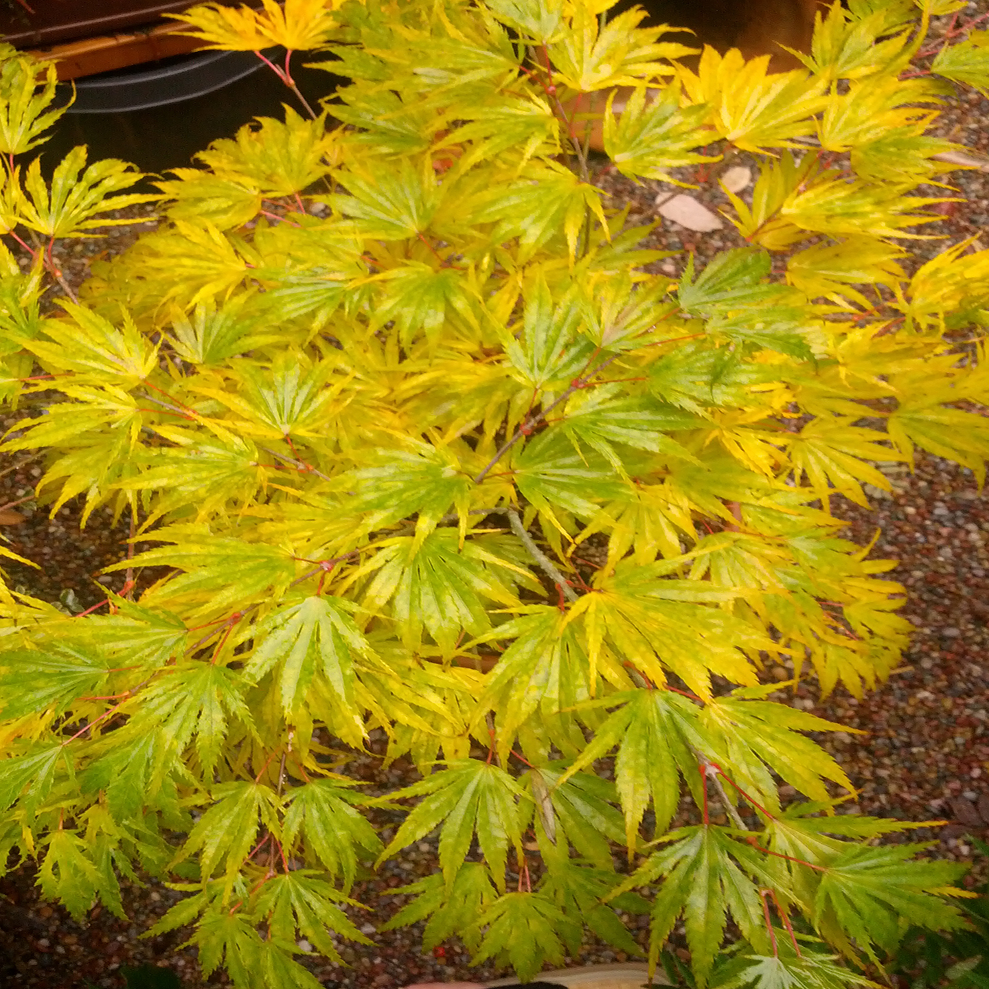 Acer Palmatum Tiger Rose Related Keywords Suggestions Acer