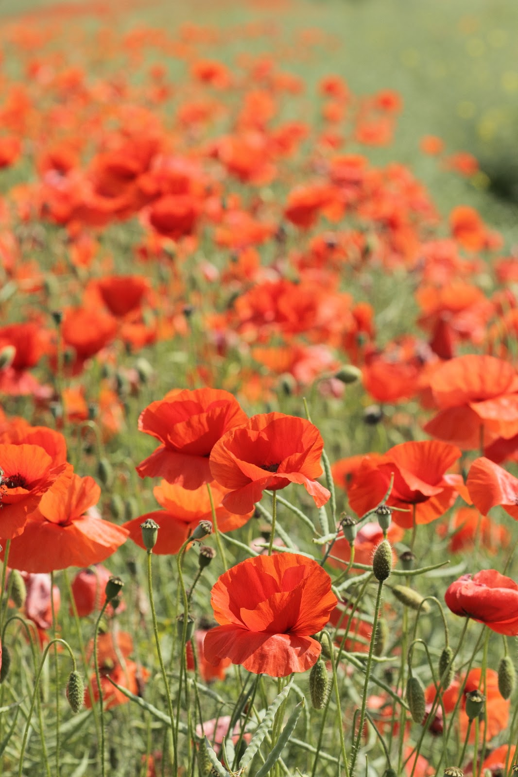 Victoria Hillman Nature Photography Blog Poppies