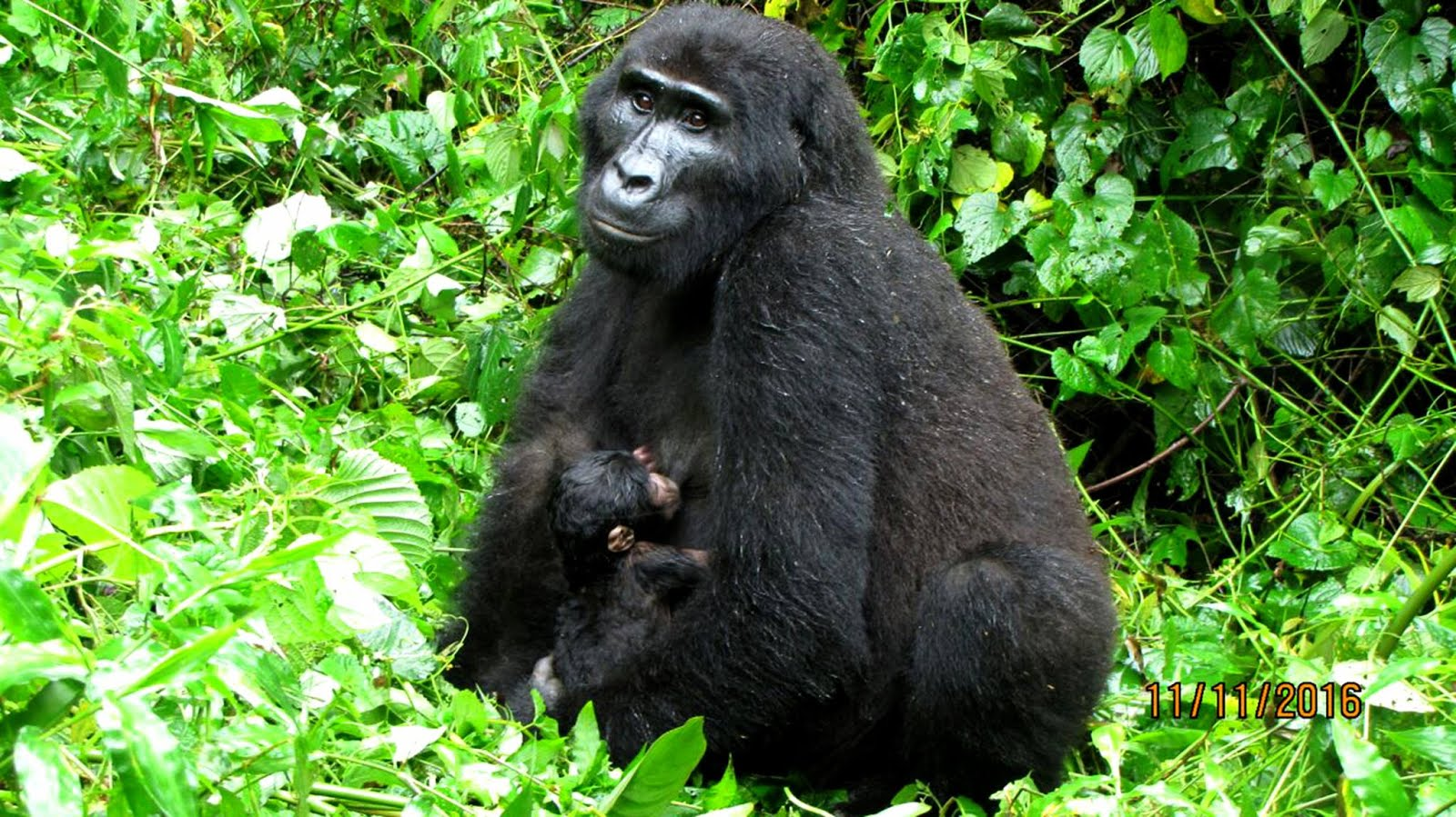 Gorilla Trekking tour offers