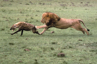 lions NEAT TO ATTACK ON hyenas