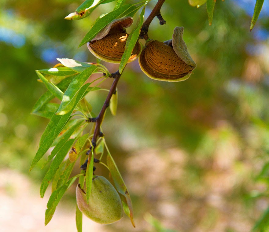 Do You Know What Your Favorite Foods Look Like While Growing - Did you know almonds are technically the seeds of fruit of the almond tree
