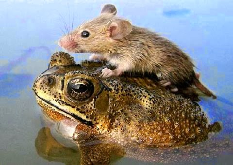 Rat on back of toad in water