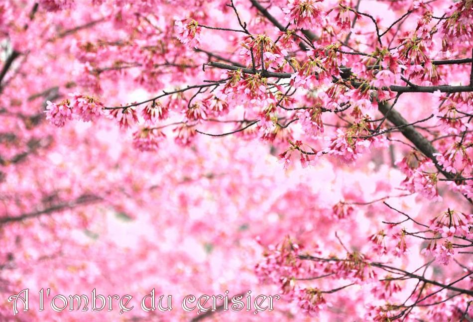 à l'ombre du cerisier...