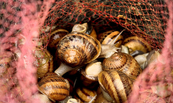how to prepare garden snails for eating
