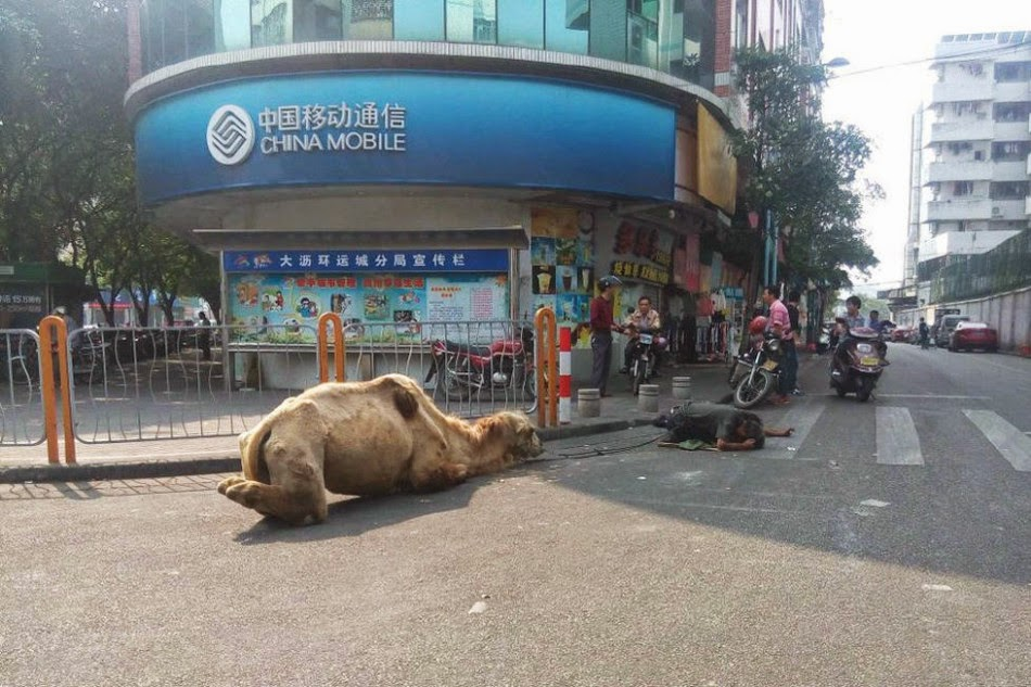 Chinese-beggars-may-have-hurt-camel-to-stir-sympathy-www.gossipsinhalanews.com
