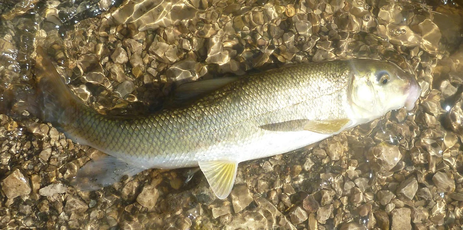 Manitoba fish species on the fly august 2013 for White fish types