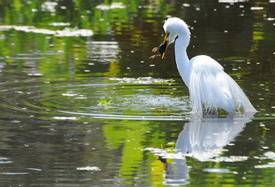 Great Egret eating Common Gallinule chick