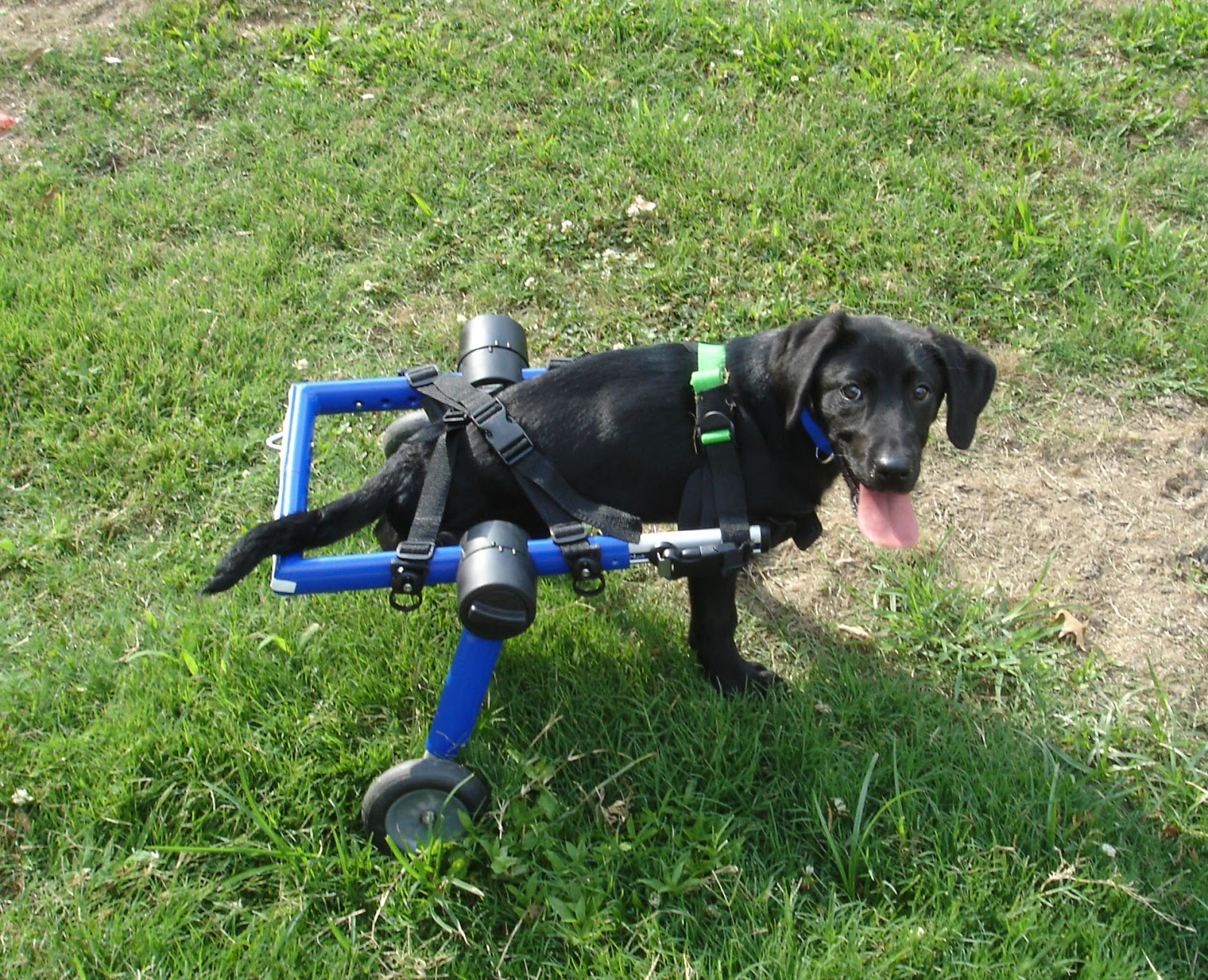 Handicapped Pets Doggie Wheelchairs for Spinal Injuries and other
