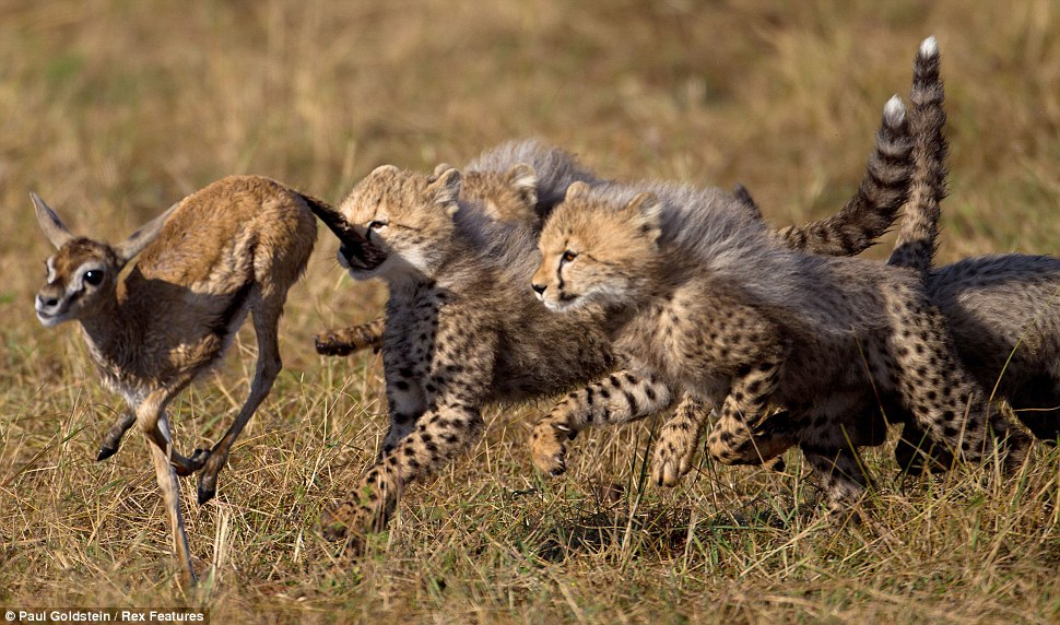 Animal Chasing Prey Their prey by tripping itAnimal Predators And Prey
