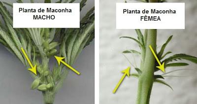 Identificar sexo das Plantas de Maconha - Maconha Macho Maconha Femea