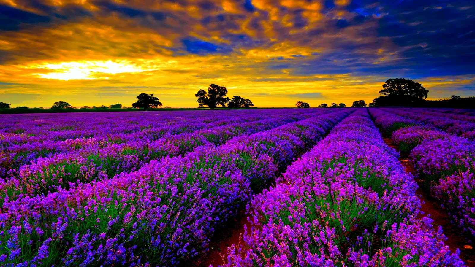 Top Travel Destinations: Lavender Fields in Provence, France