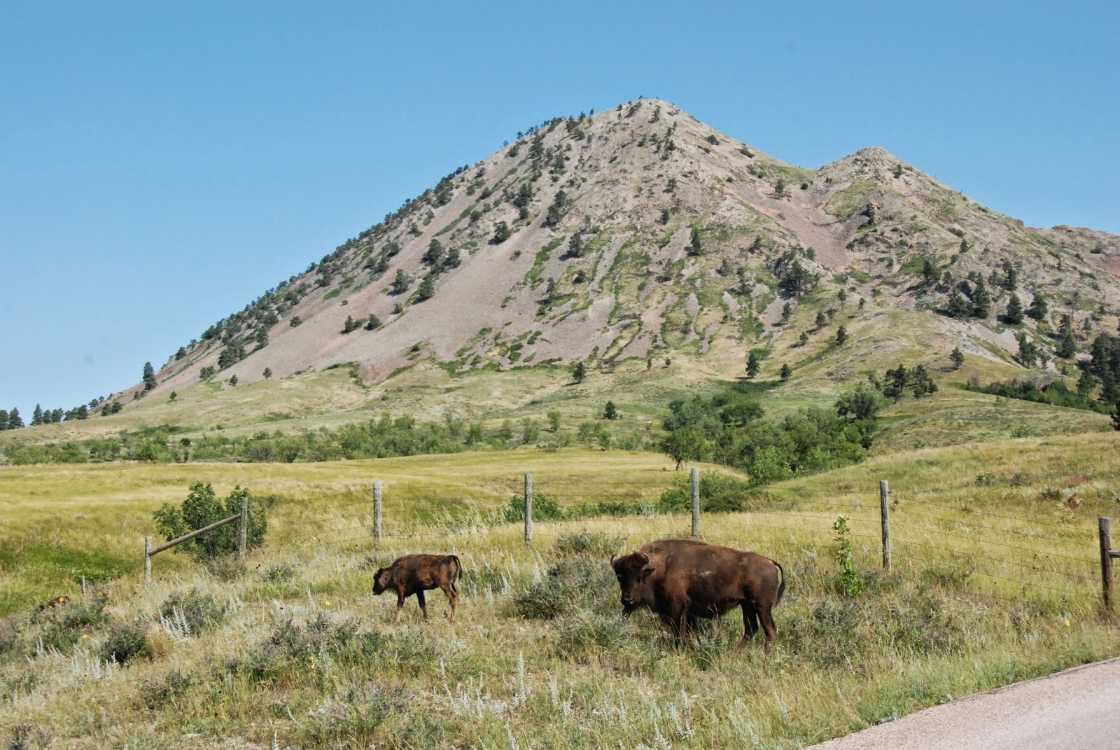 bison, bear butte, south dakota
