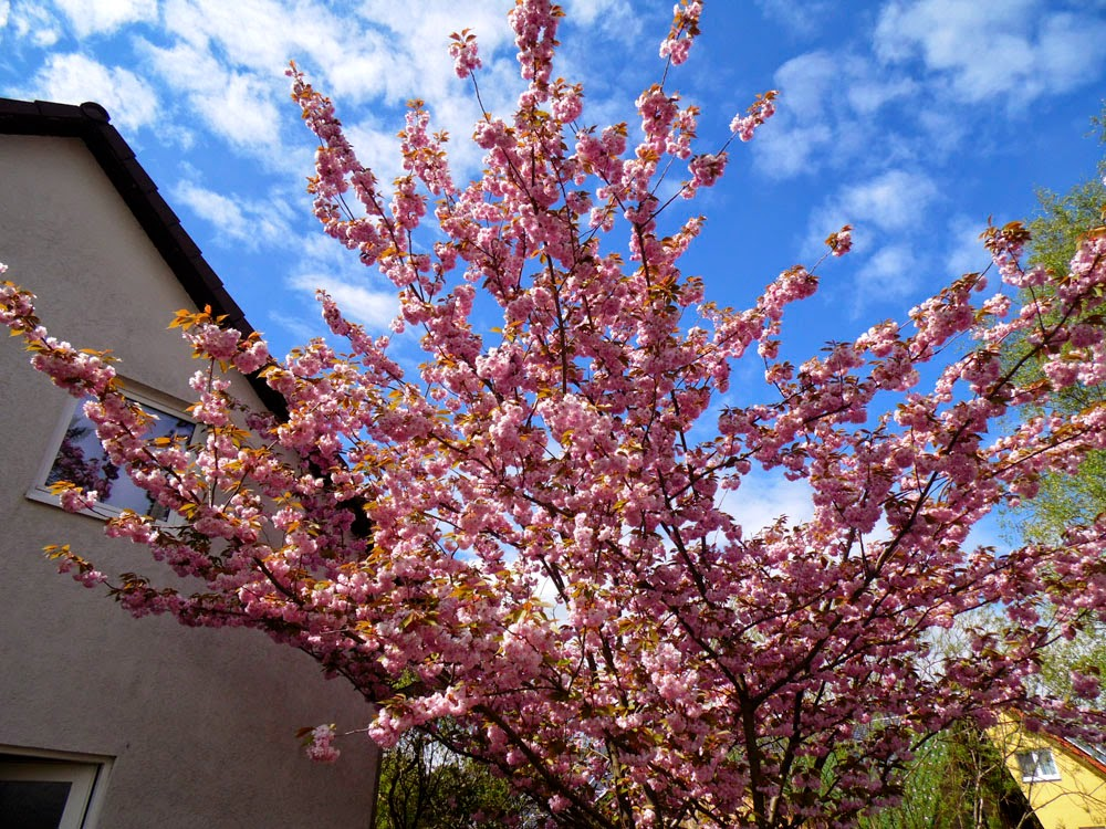 cherry blossom, by Andie Gilmour