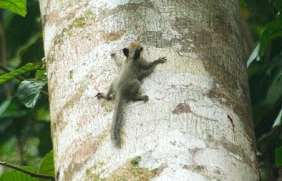 Black-eared Pygmy Squirrel (Nannosciurus melanotis)