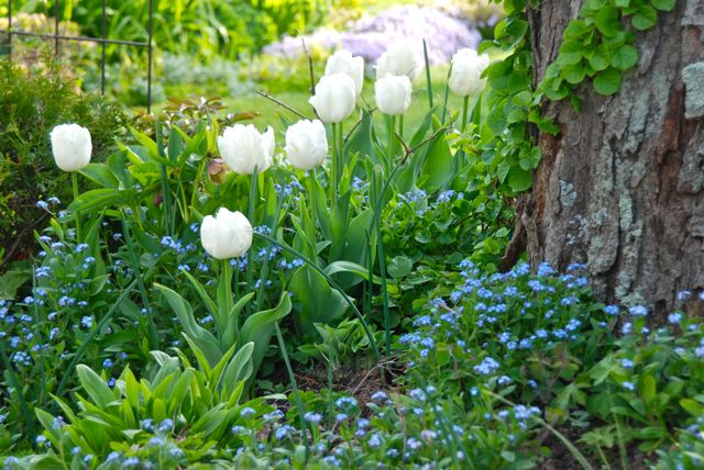 Tulip 'White Parrot' with forget-me-nots (Myosotis) by the Circle Lawn