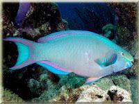 Queen Parrotfish Pictures