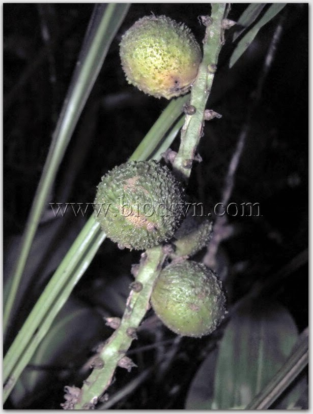 Tỏi-đá-khang-Tupistra khangii-6