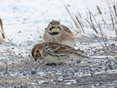 Lapland Longspur and Horned Lark - Wolfe Island, ON
