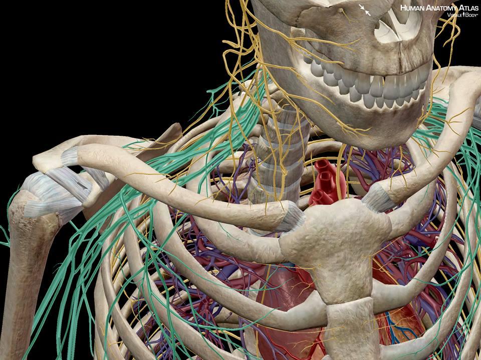 Indek Chiropractic Nerves In The Neck Chiropractor Weymouth Mass
