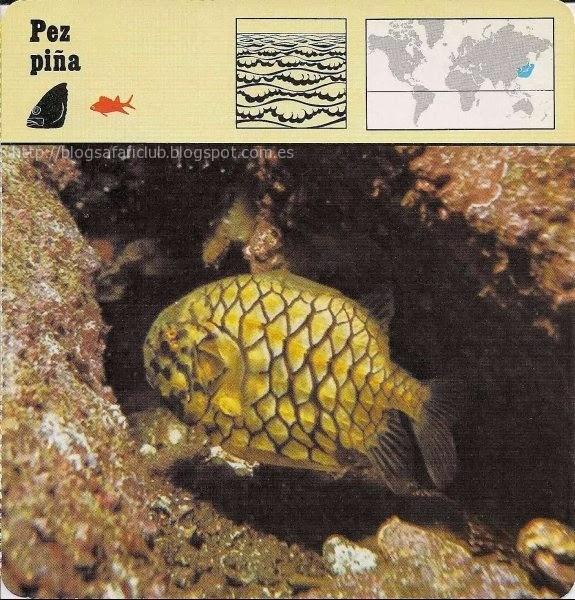Blog Safari Club, el Pez piña, no se le ve en los acuarios