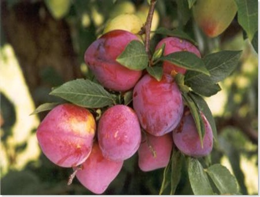 Árvores frutíferas - vendemos Árvores frutiferas : agosto 2013