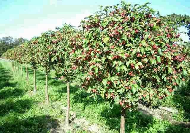 Плодовые деревья бывают разными это
