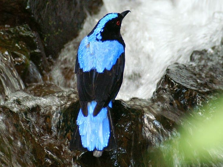 Asian Fairy-bluebird